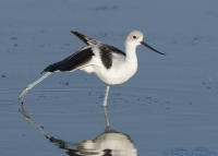 Stretching American Avocet in non-breeding plumage