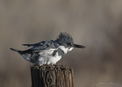 Belted Kingfisher male shaking his feathers