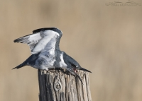 Male Belted Kingfisher wing lift with open bill