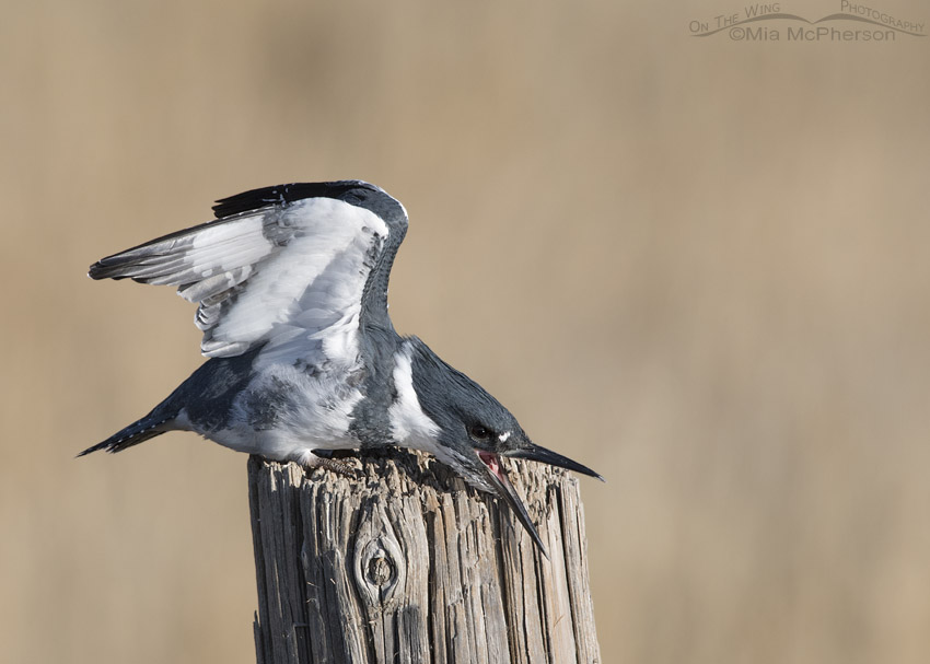 Belted Kingfisher Images