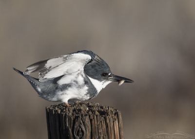Male Belted Kingfisher landing with prey