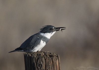 Belted Kingfisher male with a fish in his bill