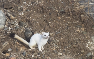 Long-tailed Weasel on a hillside
