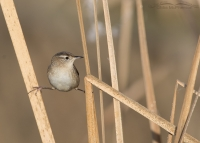 Marsh Wren at Farmington Bay