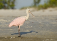 Juvenile Roseate Spoonbill at the edge of a lagoon