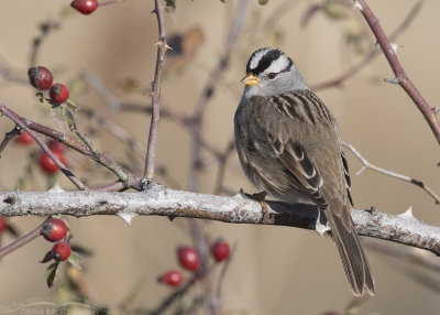 Adult White-crowned Sparrow and Rose hips