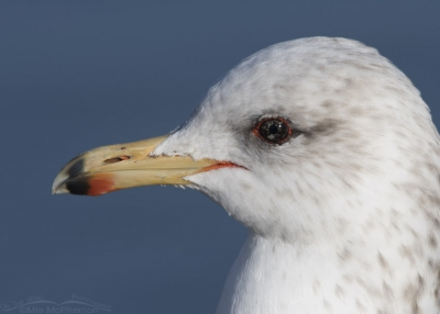 Eye color variation in a California Gull