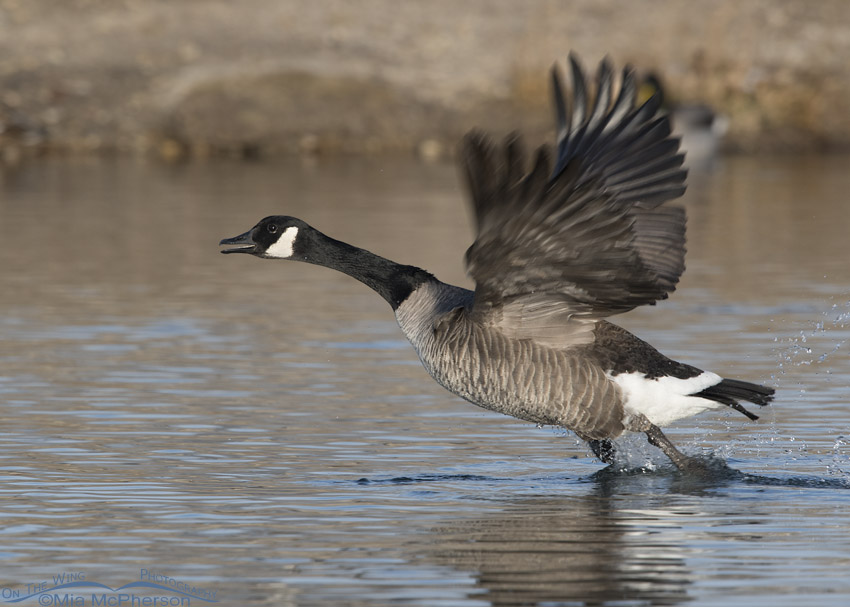 Canada Goose taking off from a pond