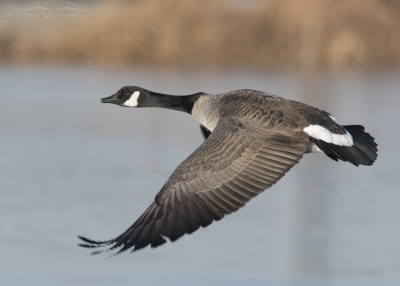 Canada Goose after taking off