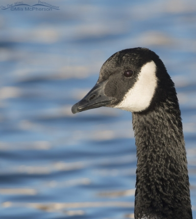 Portrait of a Canada Goose adult
