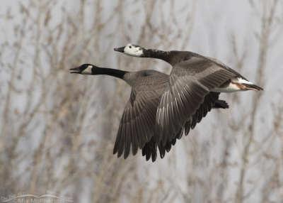 Canada Goose and Canada Goose hybrid in flight