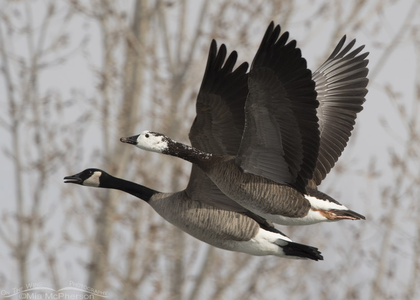 Canada Goose hybrid in flight with a normal Canada Goose