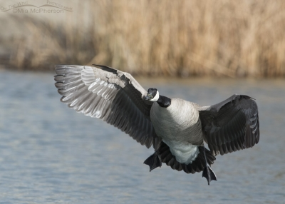 Canada Goose landing on Willow Pond