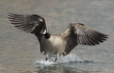 Canada Goose touch down on Willow Pond
