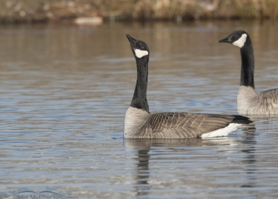 Canada Goose just before lifting off