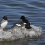 Three Common Goldeneye on an icy rock in the Great Salt Lake