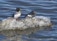 Adult female and 1st winter Common Goldeneyes on the Great Salt Lake