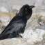 Common Raven near the Great Salt Lake