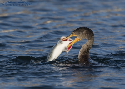 Double-crested Cormorant with its catch