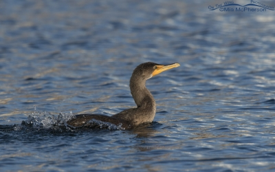 Double-crested Cormorant splashing after eating