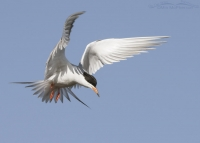 Hovering, hunting Forster's Tern in breeding plumage