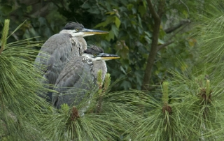 Pair of immature Great Blue Herons in a nest