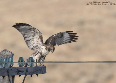 Red-tailed Hawk juvenile touching down on a telegraph pole