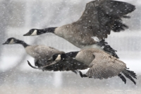 Canada Geese in a snow storm