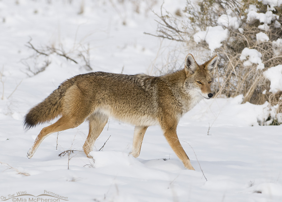Wintry day Coyote
