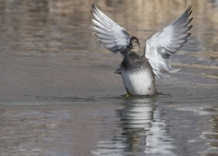 Drake Gadwall flapping his wings