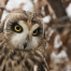 Portrait of Galileo the Short-eared Owl