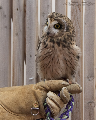 Galileo the Short-eared Owl in his mew