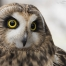 Close up of Galileo - HawkWatch International's newest education bird