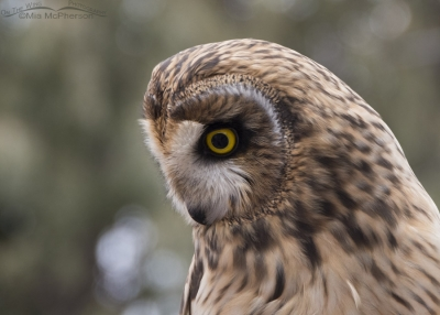 Galileo the Short-eared Owl outside