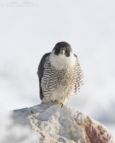 Head on look from a Peregrine Falcon