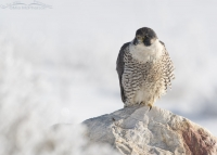 Peregrine Falcon in snow