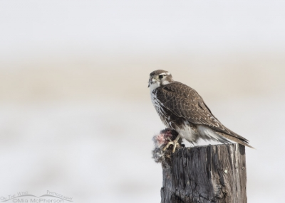 Adult Prairie Falcon with prey in Box Elder County