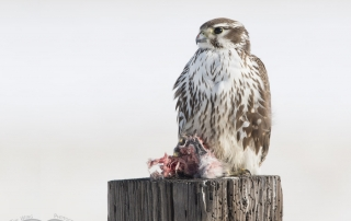Prairie Falcon adult with prey in winter