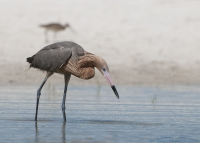 Reddish Egret foraging in a lagoon with a curlew in the background