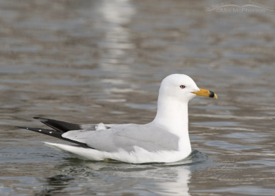 Ring-billed Gull in breeding plumage during January