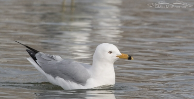 Ring-billed Gull who molted earlier than normal