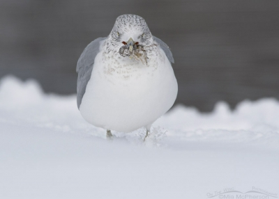Ring-billed Gull with Crayfish