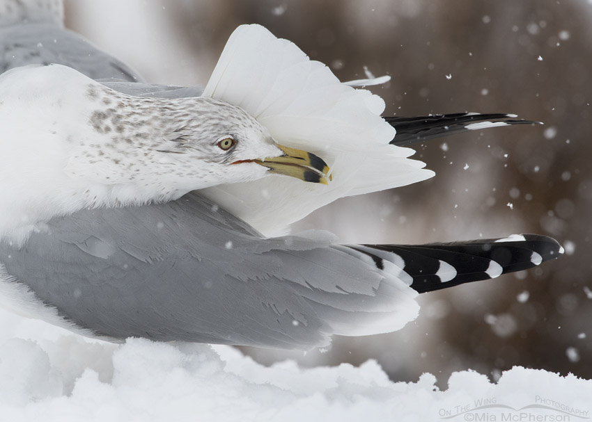 Ring-billed Gull preening in a snow storm