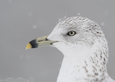 Snow falling on a Ring-billed Gull