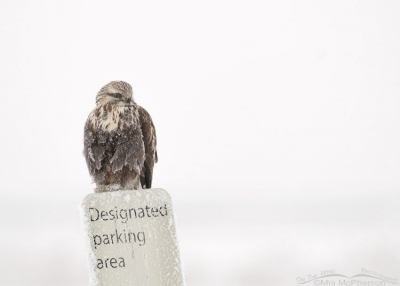 Rough-legged Hawk on a parking sign