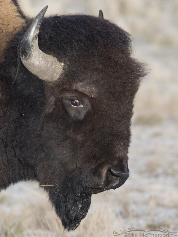 Crazy-eyed Bison bull