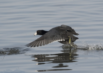 American Coot being chased at Farmington Bay