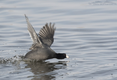 American Coot being chased past me