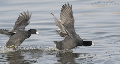 The aggressive American Coot on the other coot's tail
