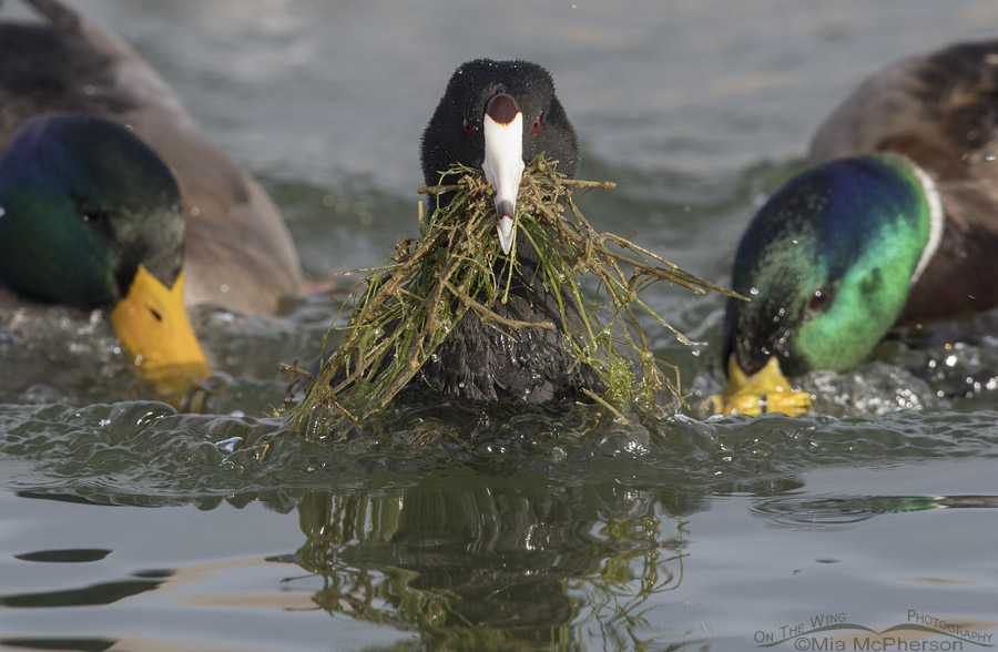 American Coot being chased by Mallards